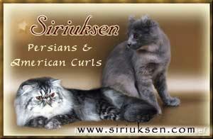Siriuksen - American curl